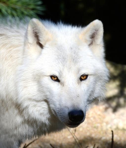 Loup blanc © photo Yvan Marcou