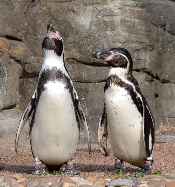 Pingouins © photo Yvan Marcou