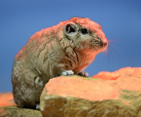 Rats du désert © photo Yvan Marcou