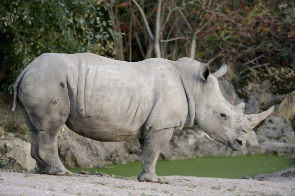 Rhinocéros © photo Yvan Marcou