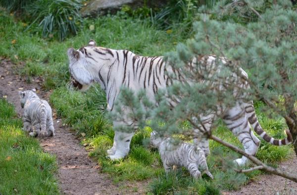 Tigres blancs © photo Yvan Marcou