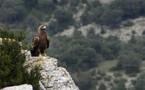 Retour de l'aigle royal dans les montagnes de Saint-Guilhem-le-Désert (34)